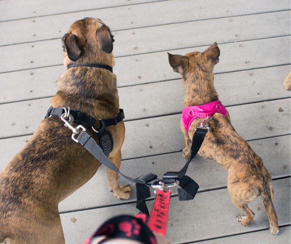 two dogs on a leash splitter