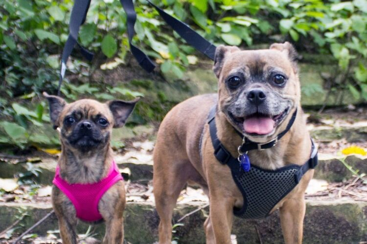 two pug mix dogs on a walk in the woods